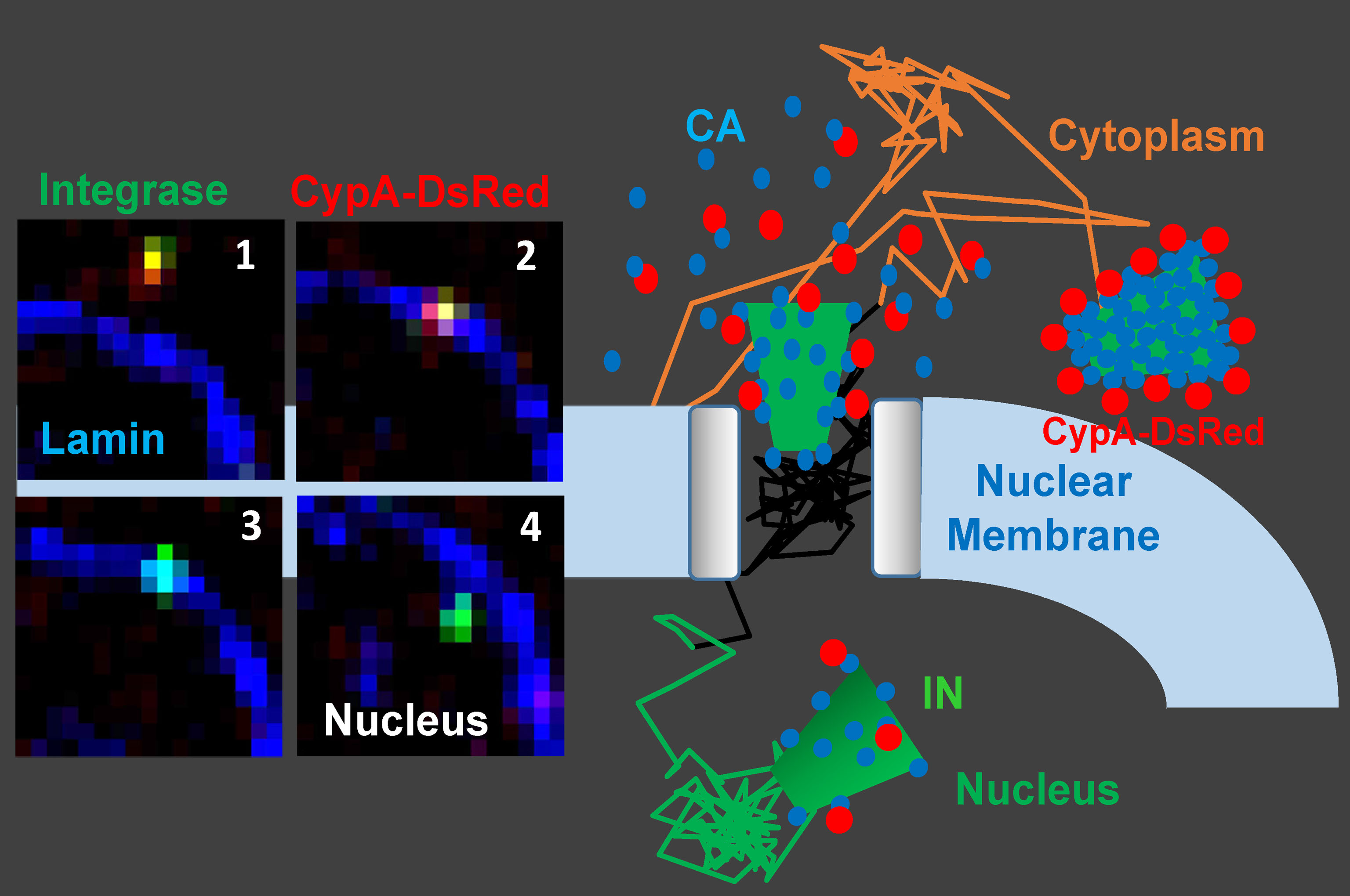 Imaging of single HIV-1 uncoating and nuclear import Carousel Photo