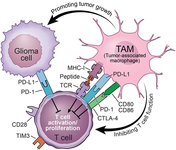 Immune Microenvironment in Glioblastoma Subtypes Carousel Photo